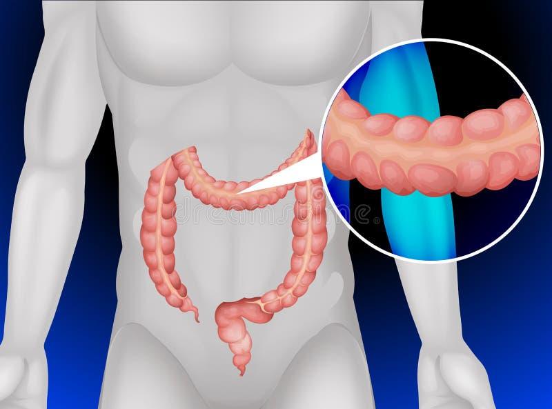 Gros intestin au corps humain illustration de vecteur