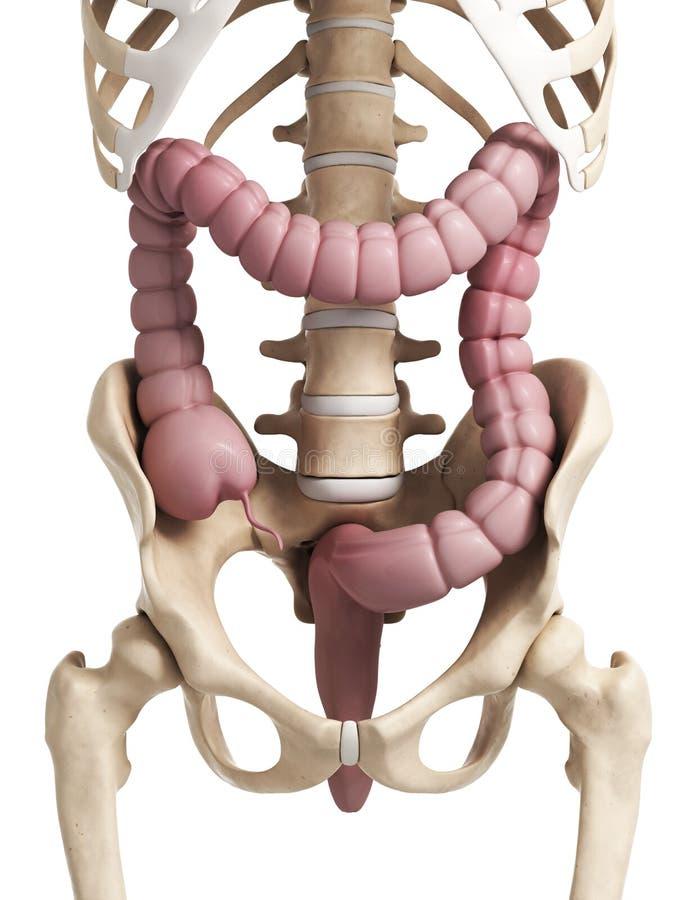 Gros intestin humain illustration libre de droits