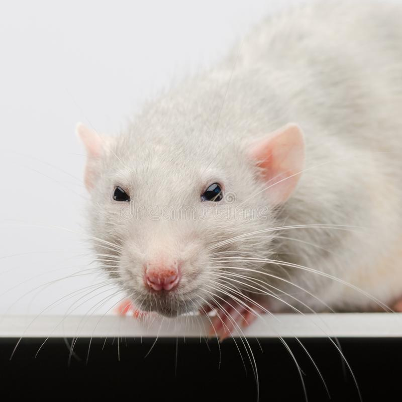 Gros plan d'un rat blanc Un rat argenté regardant directement l'objectif de la caméra images libres de droits