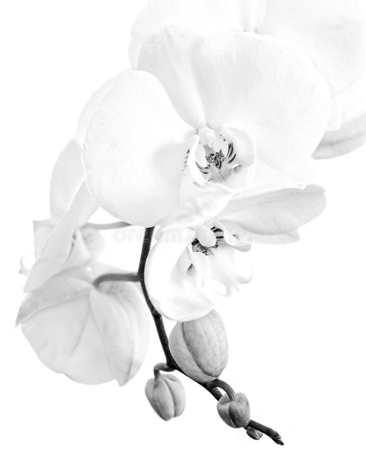Gros plan d'une orchidée blanche de phalaenopsis noir et blanc image stock
