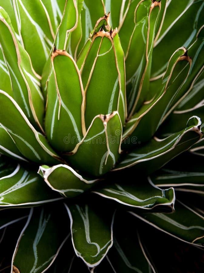 Gros plan des plantes succulentes, détails des feuilles fraîches de l'Agave victoriae reginae images stock