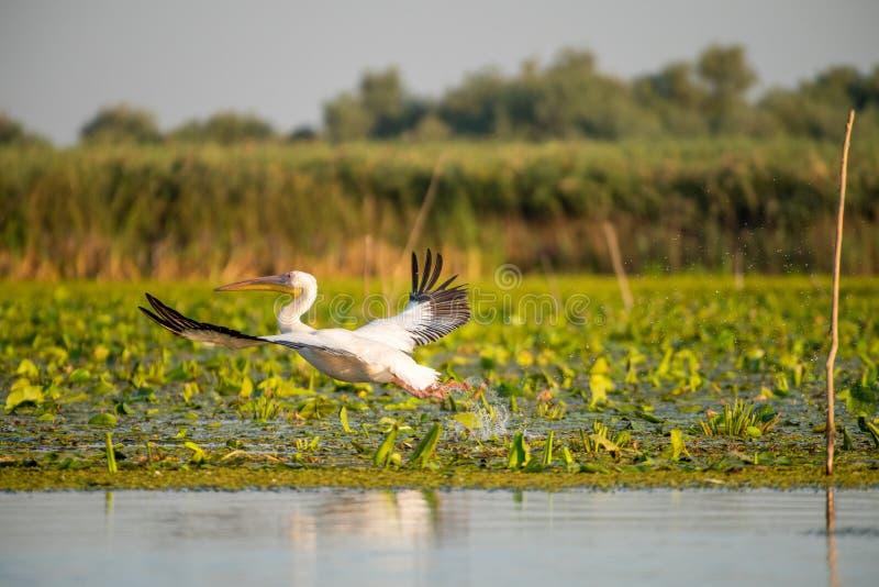 Gros plan pélican volant au-dessus de l'eau dans le delta du Danube Observation d'oiseaux sauvages roumains photos stock