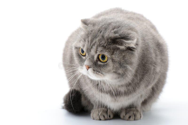 Gros plan rapproché de chat Pli d'écossais de race photo libre de droits