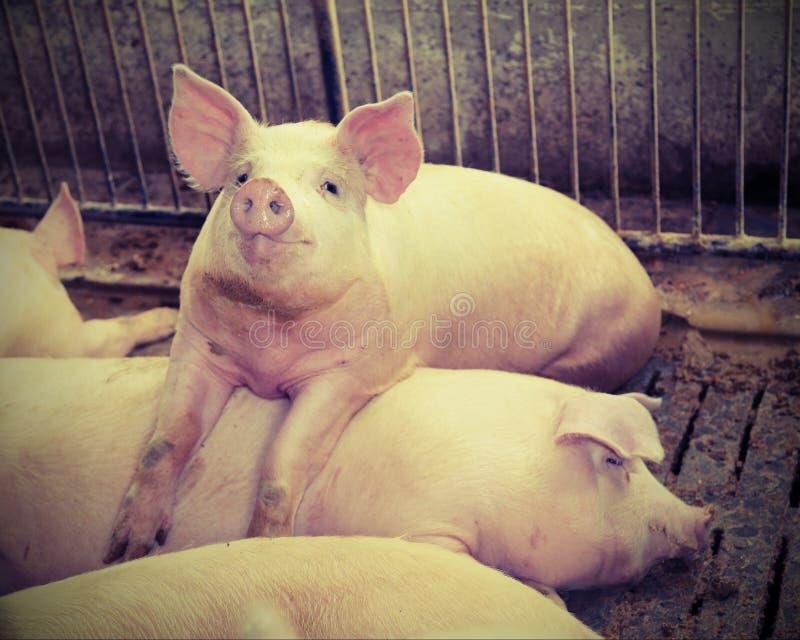 Gros porcs dans une étable à une ferme photographie stock