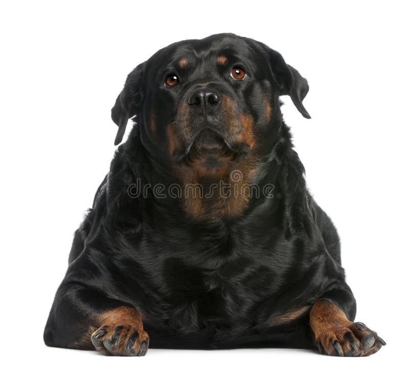 Gros Rottweiler, 3 années, se trouvant devant images stock