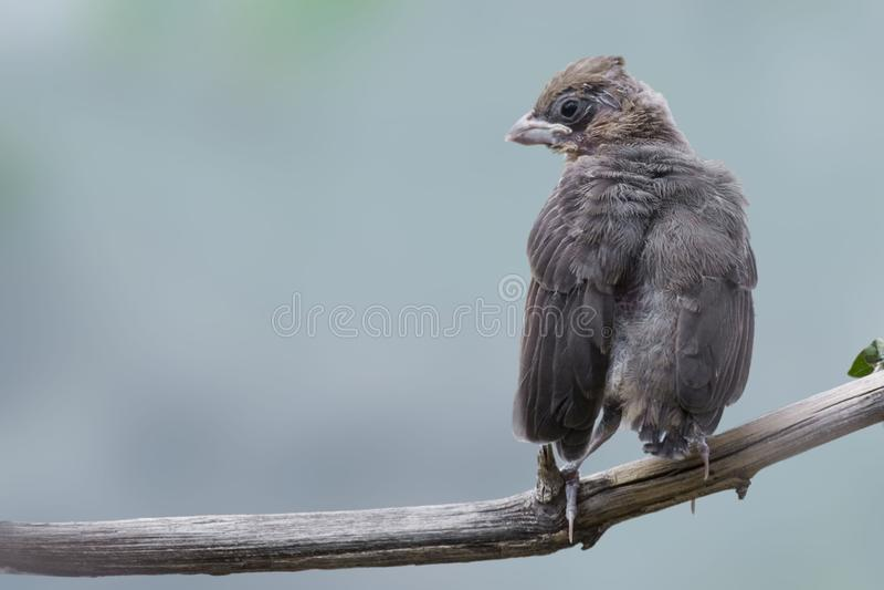 Grosbeak de cabeça negra, melanocephalus de Heucticus, pássaro novo foto de stock
