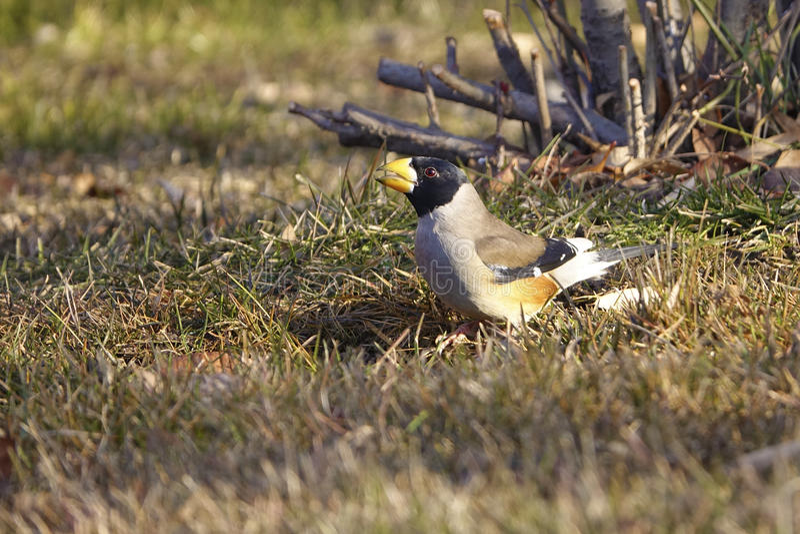 Grosbeak. A male Grosbeak on grassplot. Scientific name: Cocothraustes migratorlus stock photography