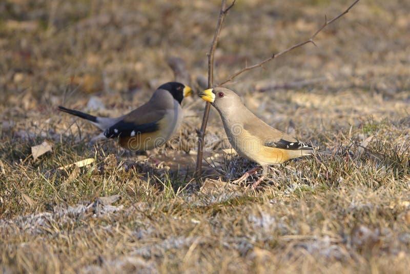 Grosbeak. A pair of Grosbeak on grassplot. Scientific name: Cocothraustes migratorlus stock photos