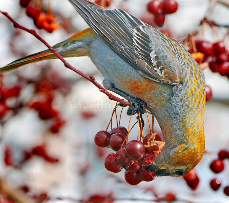 Grosbeaks di pino fotografia stock libera da diritti