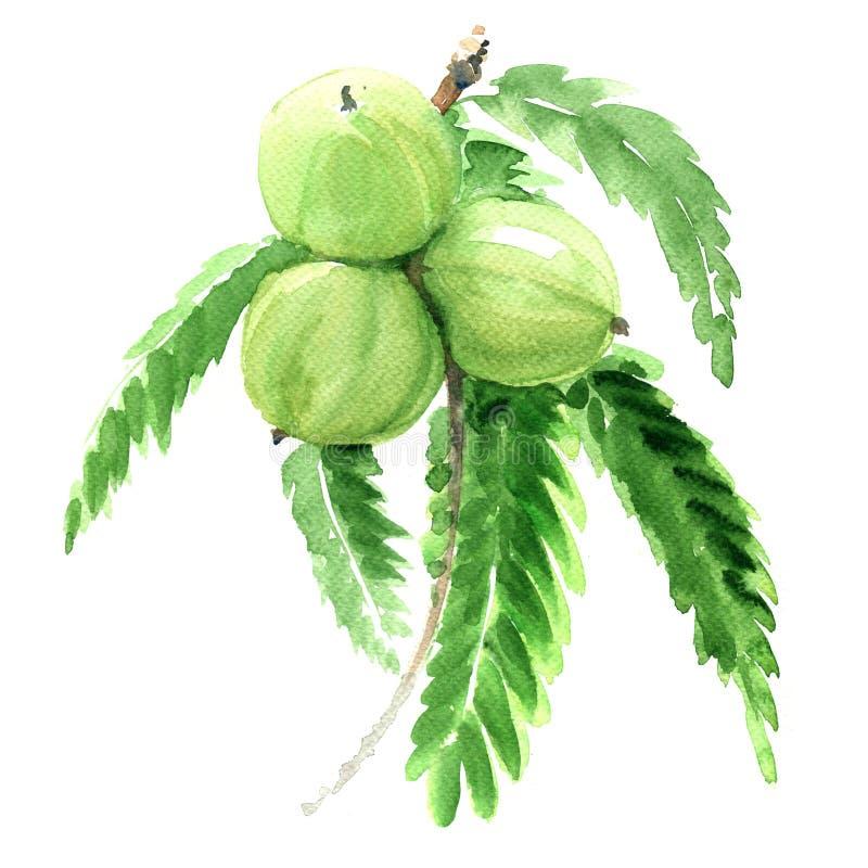 Groseille à maquereau, emblica de Phyllanthus ou amla indien, fruits verts d'isolement, illustration illustration libre de droits