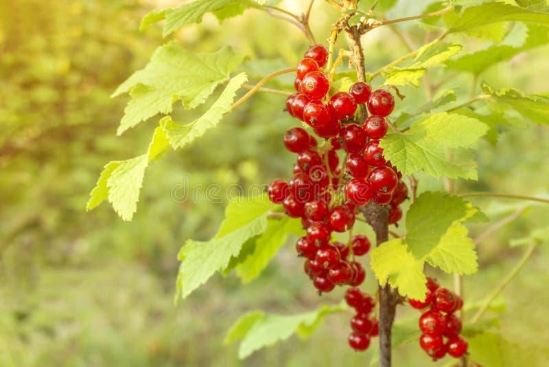 Groseille rouge dans le jardin un jour ensoleillé d'été images libres de droits