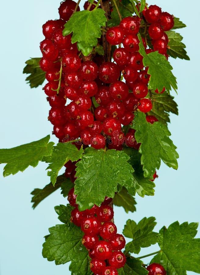 Groseille rouge fraîche photo stock