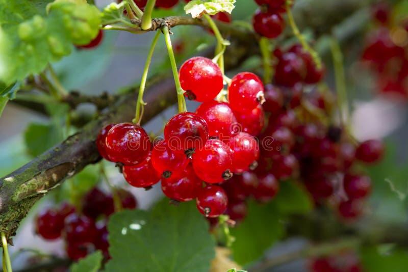 Groseille rouge ou groseille à maquereau de rubrum de Ribes mûrissant dans le jardin photographie stock libre de droits