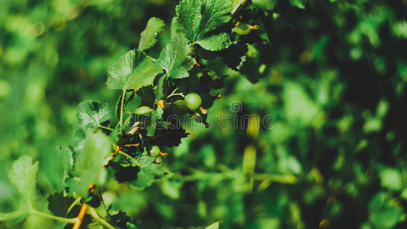Groseilles à maquereau vertes fraîches sur une branche images stock