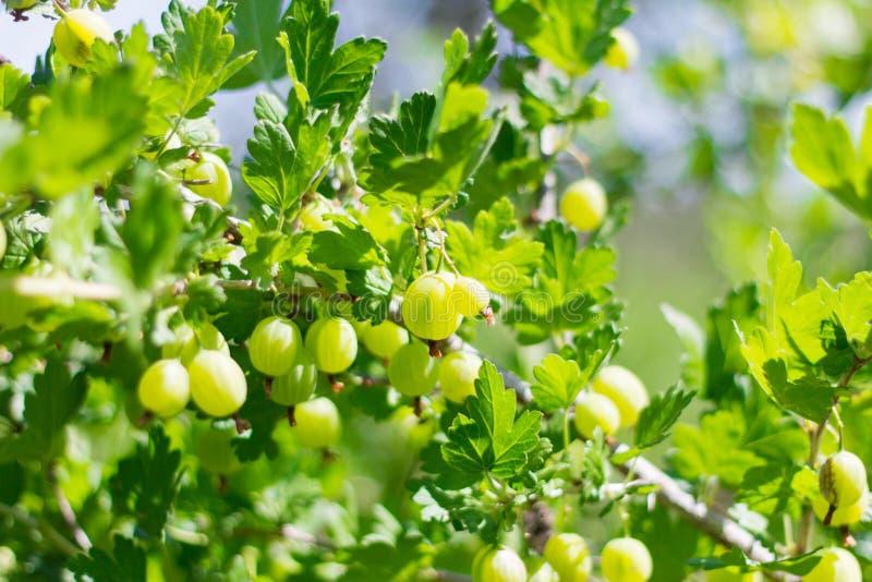 Groselha Bush com as grandes folhas e bagas verdes imagem de stock