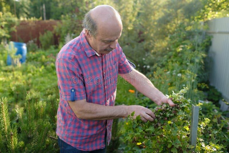 Groselha caucasiano da colheita do homem no pomar foto de stock
