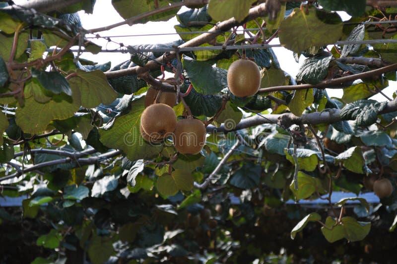 Groselha chinesa de Kiwi Fruit que cresce na videira imagem de stock