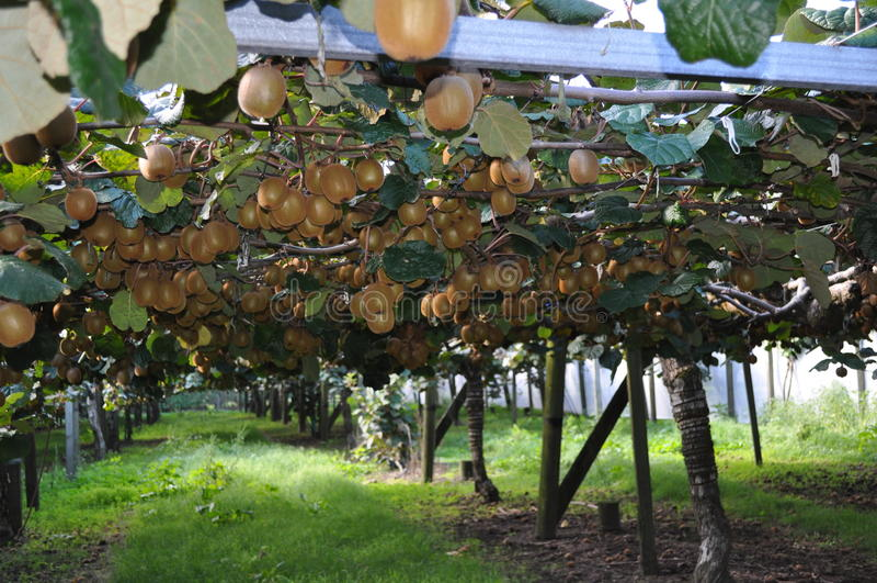 Groselha chinesa de Kiwi Fruit que cresce na videira imagens de stock royalty free