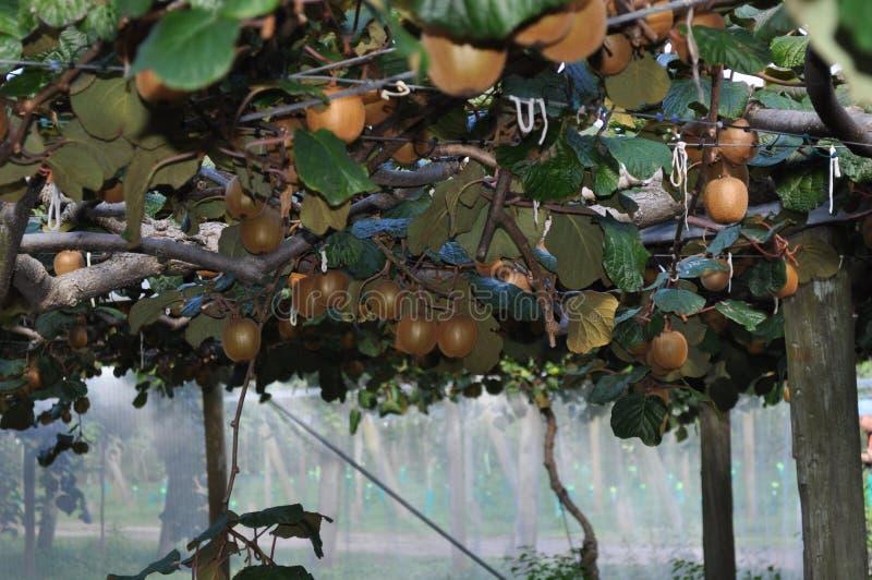 Groselha chinesa de Kiwi Fruit que cresce na videira fotografia de stock