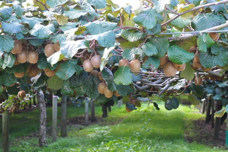 Groselha chinesa de Kiwi Fruit que cresce na videira imagem de stock royalty free