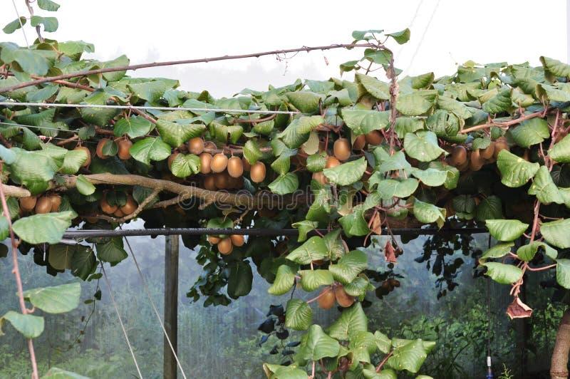 Groselha chinesa de Kiwi Fruit que cresce na videira imagens de stock