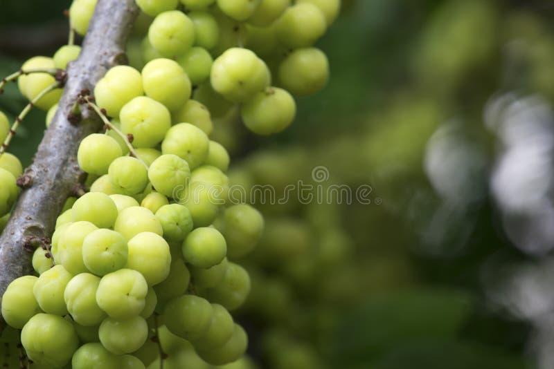 Groselha da estrela nos frutos do verão da árvore com vitamina alta C imagem de stock royalty free
