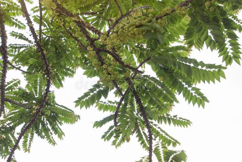 Groselha da estrela ou acidus de Phyllanthus na árvore no jardim no fundo branco imagem de stock royalty free