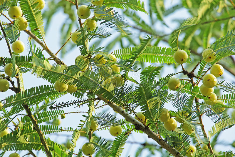 Groselha indiana, Phyllanthus Emblica foto de stock