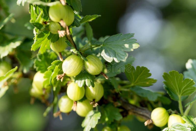 Groselha verde no jardim do fruto fotos de stock royalty free