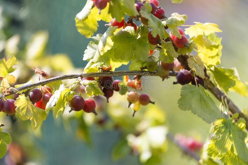 Groselhas maduras no jardim imagens de stock royalty free