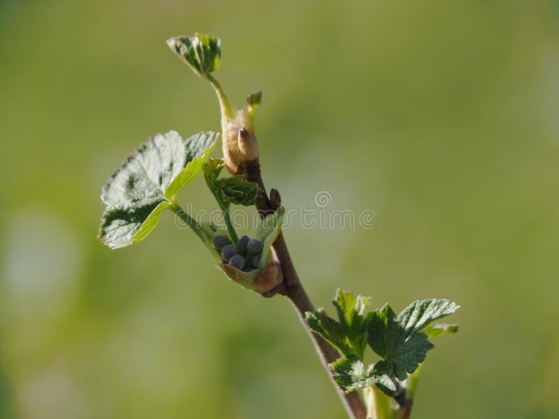 Grosella negra con los brotes antes de florecer imagenes de archivo