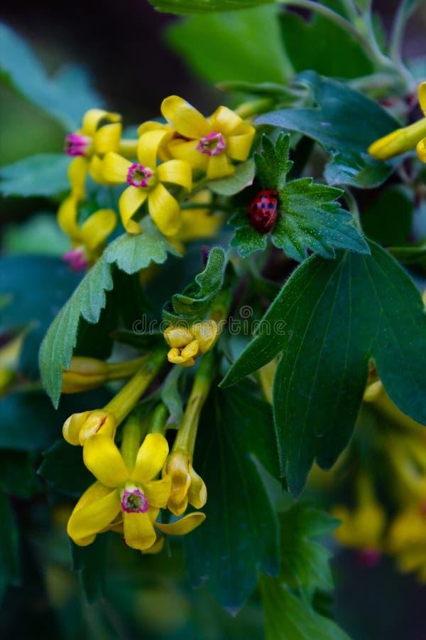 Grosella negra de florecimiento Primer fotos de archivo