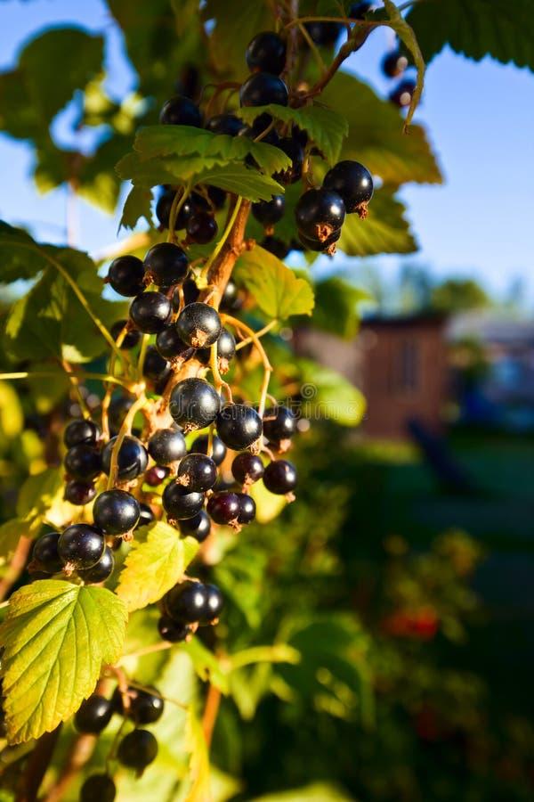 Grosella negra jugosa madura en una rama en jardín imagen de archivo