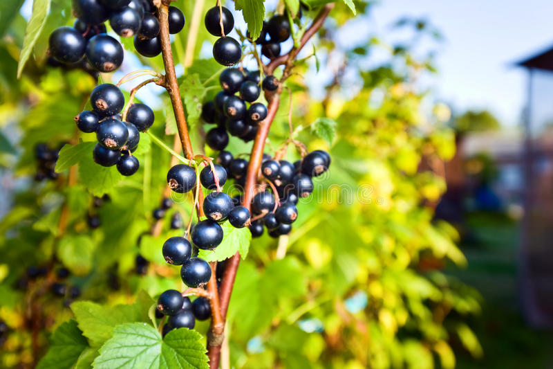 Grosella negra jugosa madura en una rama en jardín fotos de archivo