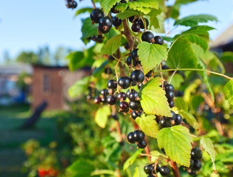 Grosella negra madura en una rama en jardín imagen de archivo libre de regalías