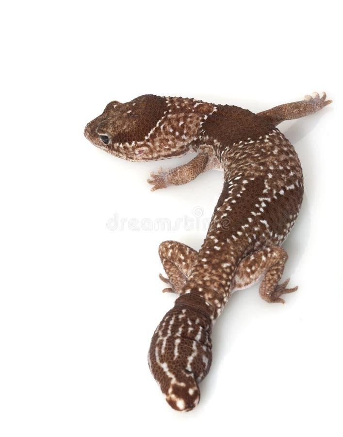 grosse jungle africaine de gecko suivie image stock
