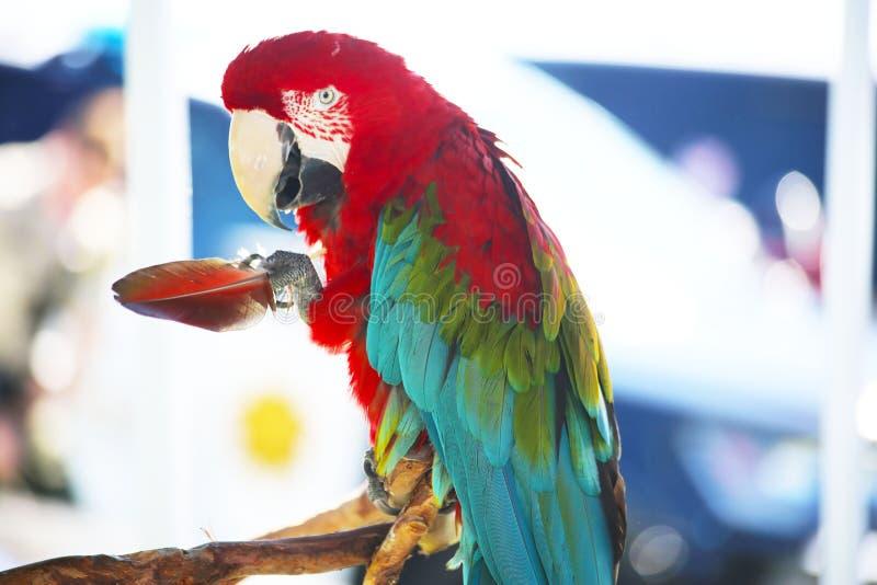 Grosse plume de perroquet de Macaw photographie stock