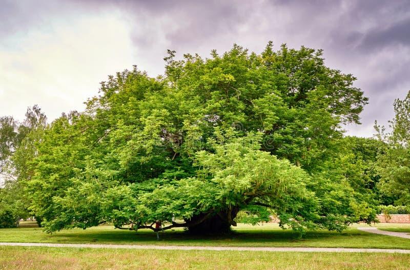 Grosser alter Baum unter Wolken Schwerin, Deutschland stockbild
