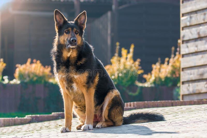 Grosser Mongrel-Hund bewacht die Anlage mit aufmerksamen Augen lizenzfreie stockfotografie