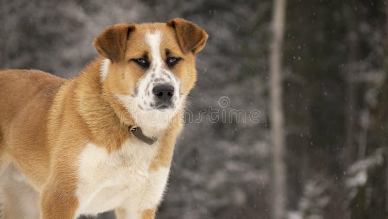 Grosser roter Hund im Schnee auf einem Hügel vor einem Waldhintergrund lizenzfreie stockfotografie