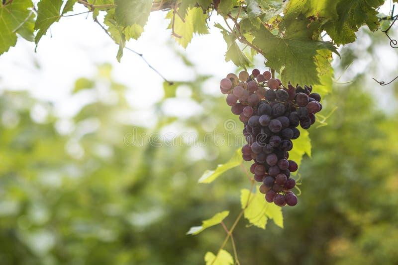 Grosser Traubenhaufen aus einem Weinstock, Enge Rote Weintrauben stockbilder