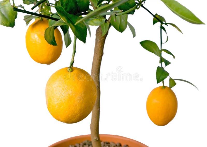 GROSSER Zitronebaum - getrennt lizenzfreies stockfoto