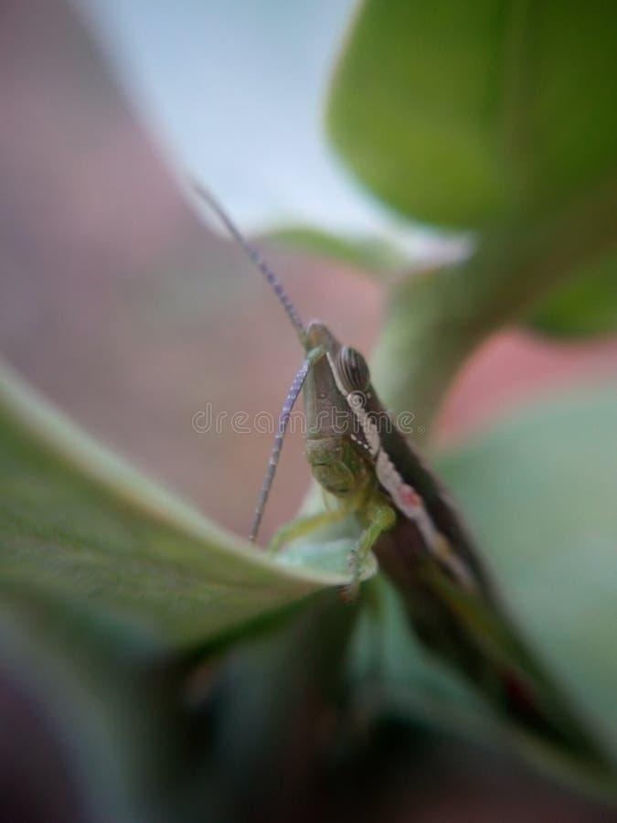 Grosshopper royaltyfria bilder