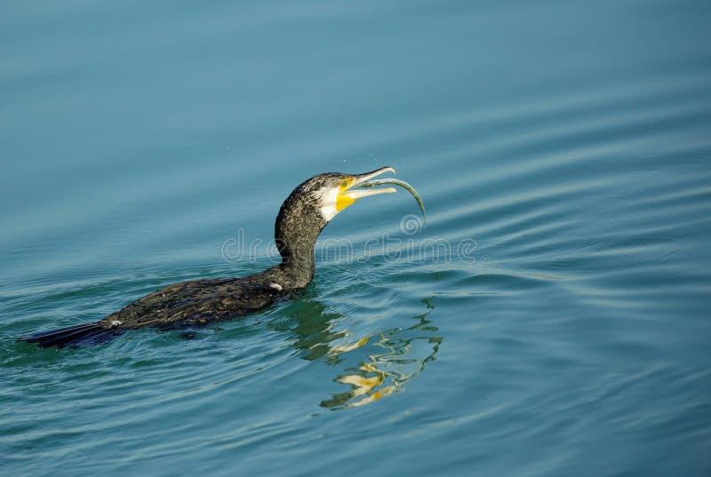 Grote Aalscholver die de vissen gulping royalty-vrije stock fotografie