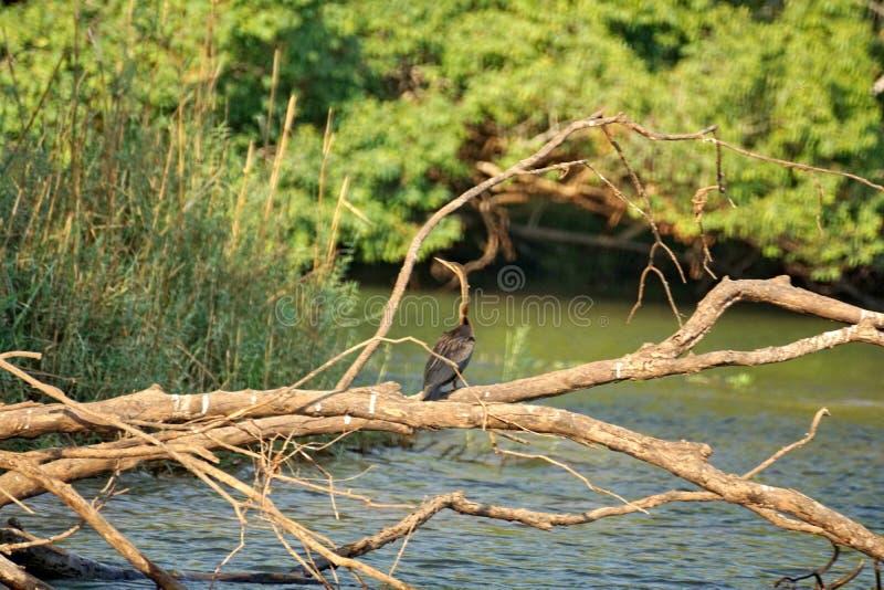 Grote aalscholver op een gevallen boom stock fotografie