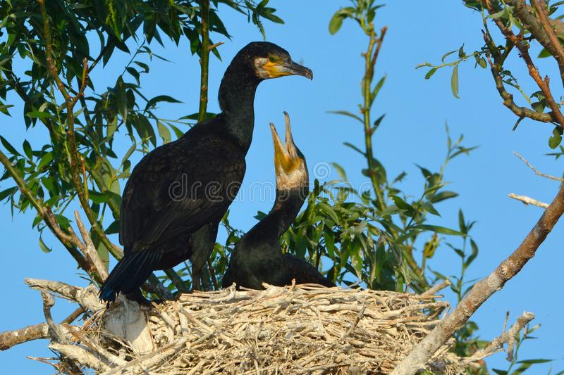 grote aalscholver & x28; Phalacrocorax carbo& x29; stock afbeelding