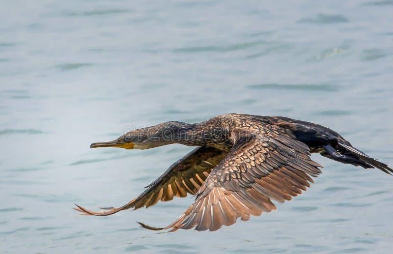 Grote Aalscholver tijdens de vlucht wijze stock foto
