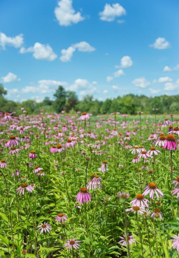 Grote aanplanting van Echinacea-purpurea royalty-vrije stock fotografie