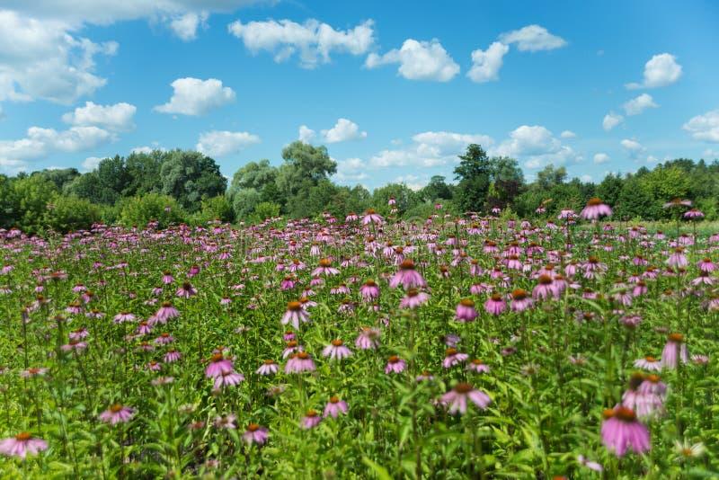 Grote aanplanting van Echinacea-purpurea stock foto's