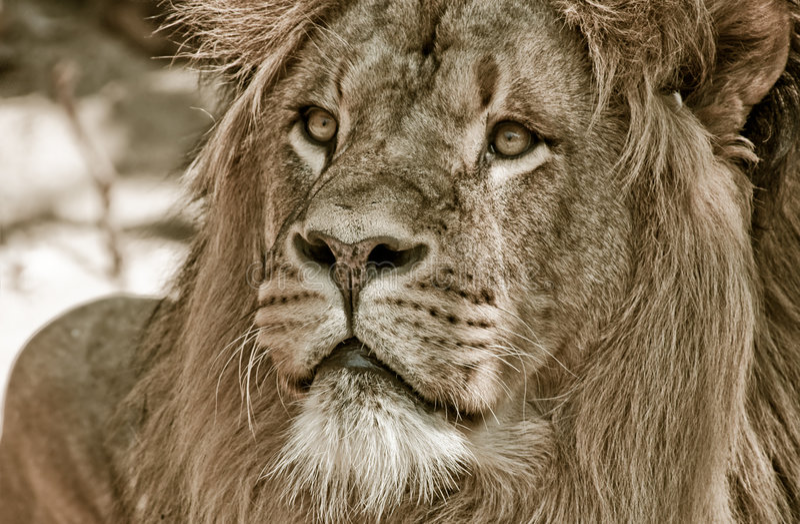 Grote Afrikaanse mannelijke leeuw royalty-vrije stock foto's